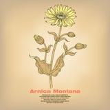 Illustration medizinischer Kräuter Arnika Montana Lizenzfreies Stockfoto