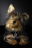 Illustration mignonne d'un jeune chien terrier de Yorkshire Photographie stock libre de droits