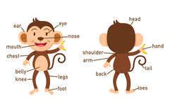 Illustration of monkey vocabulary part of body. Vector Royalty Free Stock Photo