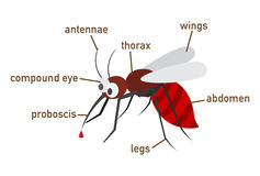 Illustration of mosquito vocabulary part of body. Vector Stock Photography