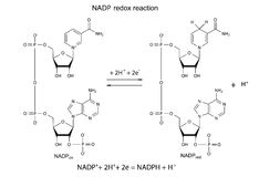Illustration of NADP redox reaction Stock Photo