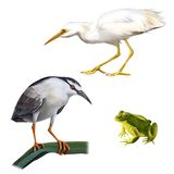 Illustration of Night Heron bird, Great White. Egret (Ardea alba), and green frog Isolated on white background Royalty Free Stock Photos