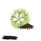Illustration numérique d'art d'herbe ayurvedic de Swertia Chirata ou de Chirayata avec le texte d'isolement sur le blanc Usine or Images stock