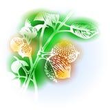 Illustration With Nutmeg Royalty Free Stock Photo
