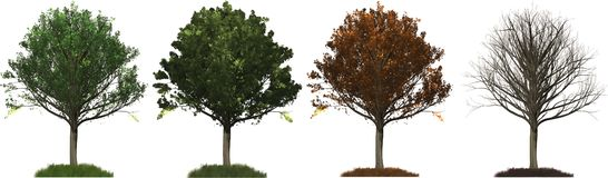 All four seasons Oak tree illustration vector illustration