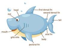 Free Illustration Of Shark Vocabulary Part Of Body Royalty Free Stock Photos - 73216498