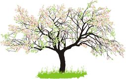 Apple tree in spring Stock Image