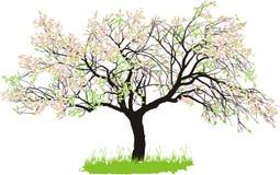 Apple tree in spring Stock Image