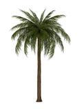 Illustration of palm tree Stock Photos