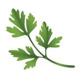 Illustration of parsley Stock Photography