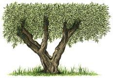 Illustration peinte à la main d'aquarelle d'olivier illustration libre de droits