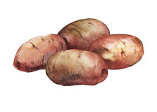 Illustration peinte à la main d'aquarelle des pommes de terre Image stock