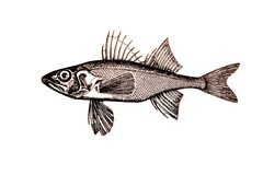 Illustration of perch fish Royalty Free Stock Photo