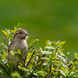 Illustration/Photo  (Sparrow) Stock Images