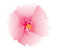 Illustration  of pink hibiscus flower  on white background Stock Photography