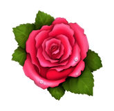 Illustration of pink rose Royalty Free Stock Photos