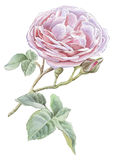 Illustration with pink rose. Stock Images