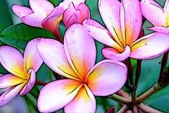 Illustration of pink yellow frangipani plumeria blossoms. royalty free illustration