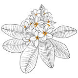 Illustration with plumeria Flowers and Frangipani. linear Stock Photos
