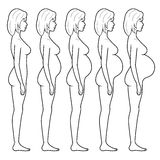 Illustration of a pregnant woman's figure. Vector illustration of stages of pregnancy of the woman Royalty Free Stock Photography