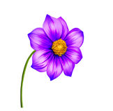 Illustration of Purple Dahlia flower, Spring Stock Images