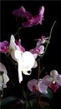 Illustration réaliste de vecteur d'orchidée Photo libre de droits