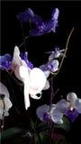 Illustration réaliste de vecteur d'orchidée Images stock
