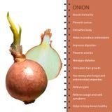 Illustration réaliste polygonale de vecteur d'oignon frais Photos stock
