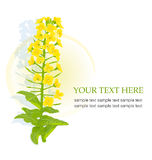 Yellow blooming rapeseed royalty free illustration