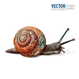 Illustration of realistic. Garden snail. Vector isolated on white background. Royalty Free Stock Image