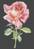 Illustration with red realistic rose Stock Images