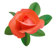 Illustration of red rose - vector Stock Images
