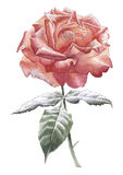 Illustration with red rose. Stock Images