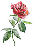 Illustration with  red  rose. Royalty Free Stock Photography