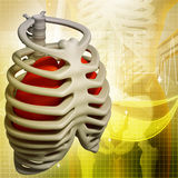 Illustration of the rib cage Royalty Free Stock Images
