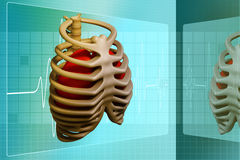 Illustration of the rib cage Royalty Free Stock Photo