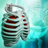 Illustration of the rib cage Stock Image