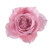 Illustration rose de rose Image libre de droits