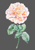Illustration with rose. Stock Photo