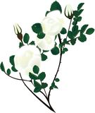 Illustration rosehip branches with white flower Stock Images