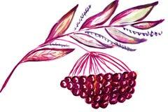 Illustration rowan branch Stock Images