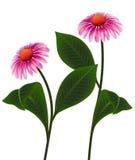 Illustration vector pink cone flower of Echinacea purpurea, Purpur Sonnenhut or Roter Scheinsonnenhut. Illustrations pink cone flower of Echinacea purpurea Stock Photography