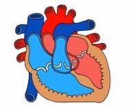 Illustration scientifique d'une coupe de coeur dans la moitié illustration de vecteur