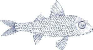 Illustration of sea fish mullet. Vector illustration of sea fish mullet, engraving on white background Stock Photos