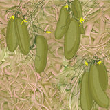 Illustration of seamless pattern cucumbers. Vector Illustration of seamless pattern cucumbers with texture Stock Image