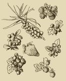 Illustration set of berries Stock Photos