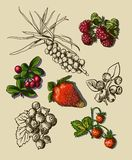 Illustration set of berries Stock Images