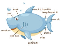 Illustration of shark vocabulary part of body. Vector Royalty Free Stock Photos