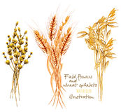 Illustration with sheaf of wheat ears and dryflowers. Hand drawn in watercolor on a white background Stock Image