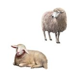 Illustration of Sheep standing and laying. Illustration of Front view of a Sheep looking away. Illustration isolated on white background royalty free stock photos